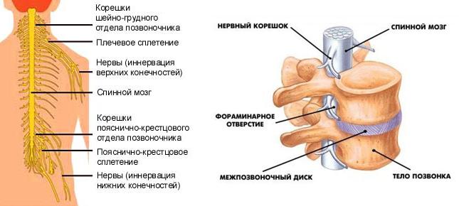 Самая крупная – артерия Адамкевича. Она насыщает грудной и пояснично-крестцовый отдел