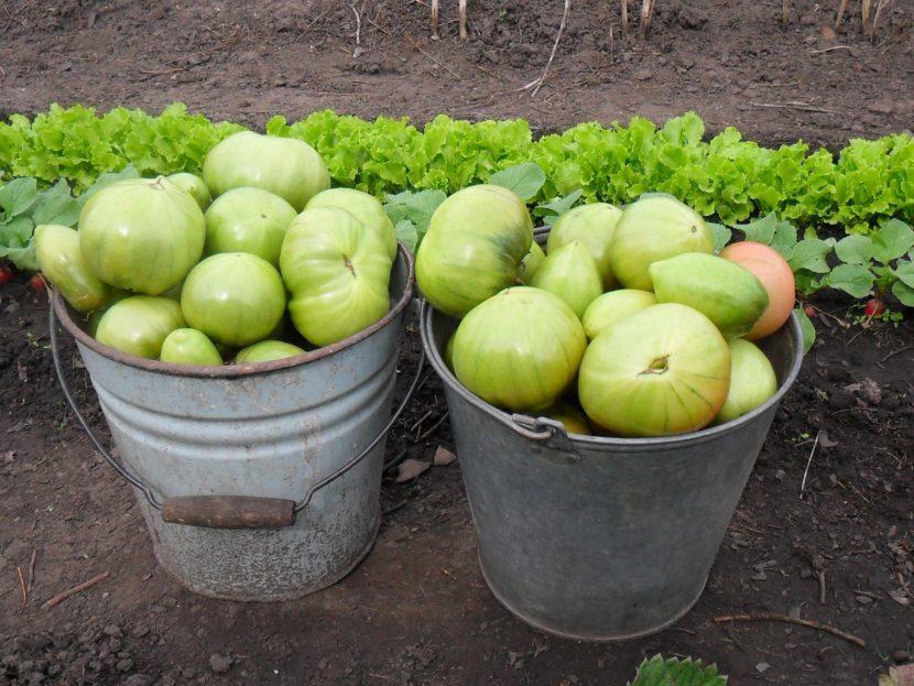Лечение варикоза вен на ногах зелеными помидорами: рецепт