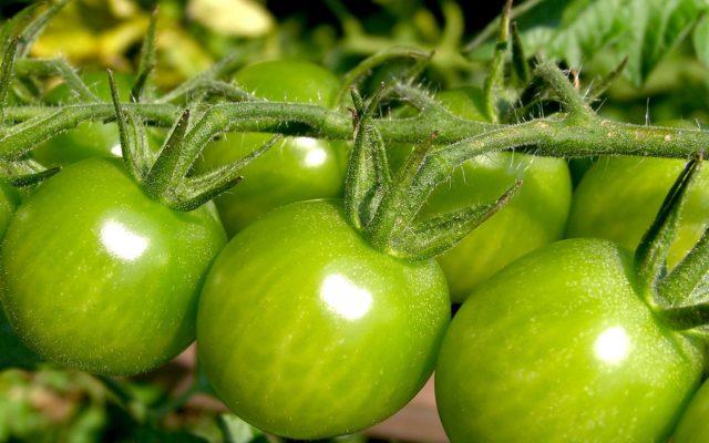 Суть в том, что в только начинающих зреть помидорах, содержится значительно больше витаминов, минералов и кислот