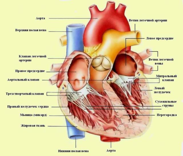 Реабилитацию после инфаркта можно условно разделить на несколько этапов, каждый из которых имеет особенности
