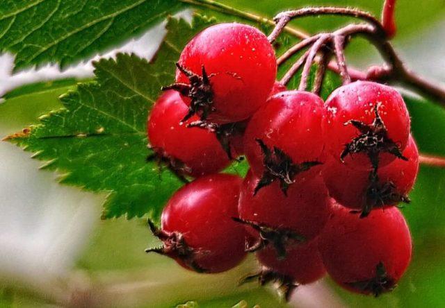 При лечении мерцательной аритмии народными средствами используются травы и другие продукты, которые нормализируют ритм сердца