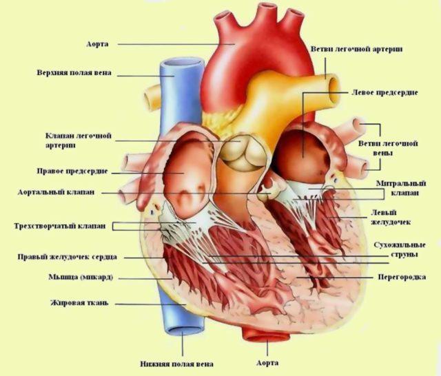 При помощи электронного микроскопирования появилась возможность изучения строения клеток сердца